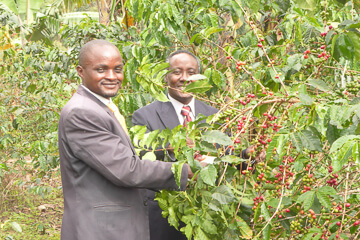 Growing coffee at Nyakabungo